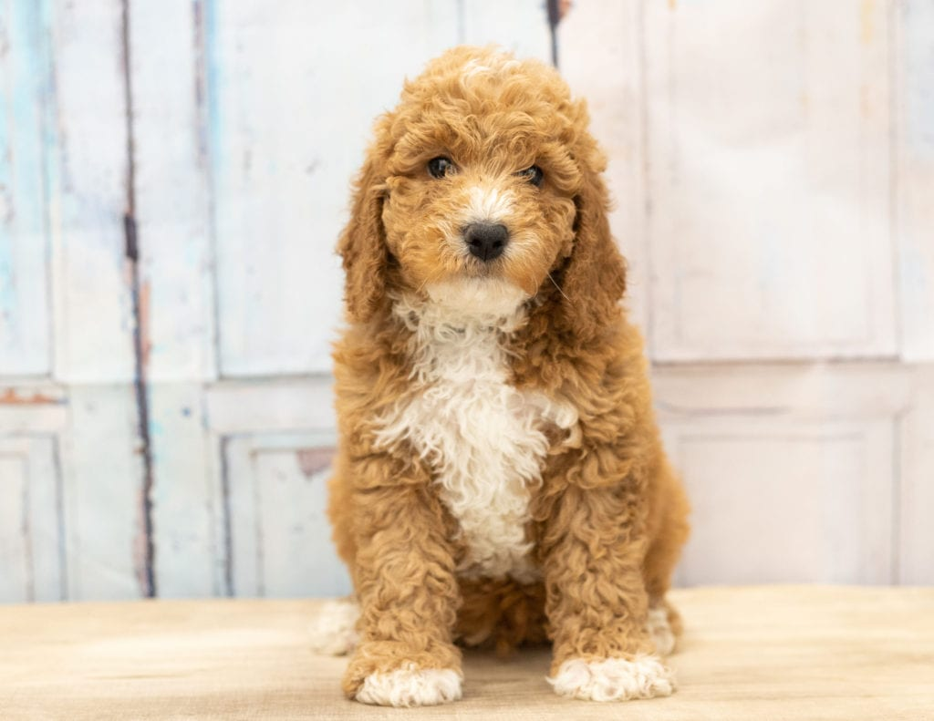A picture of a Vex, one of our Mini Goldendoodles puppies that went to their home in Wisconsin