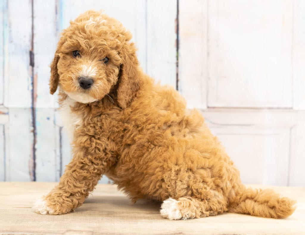 Vex is an F1BB Goldendoodle that should have  and is currently living in Wisconsin