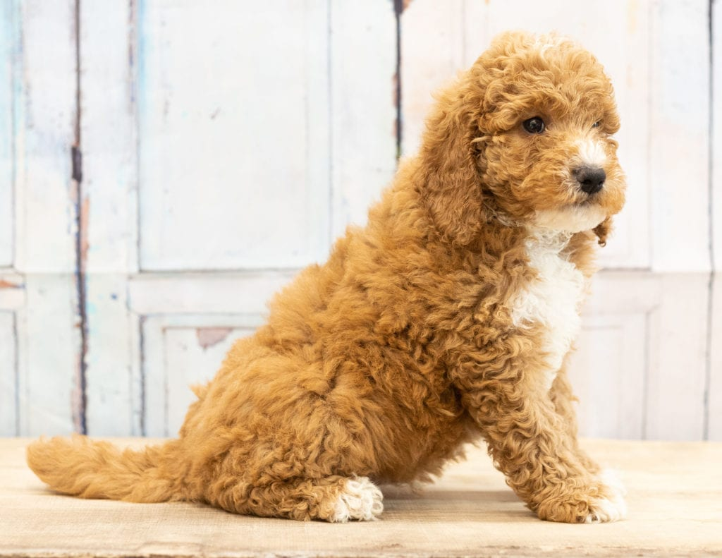 Vex came from Candice and Teddy's litter of F1BB Goldendoodles