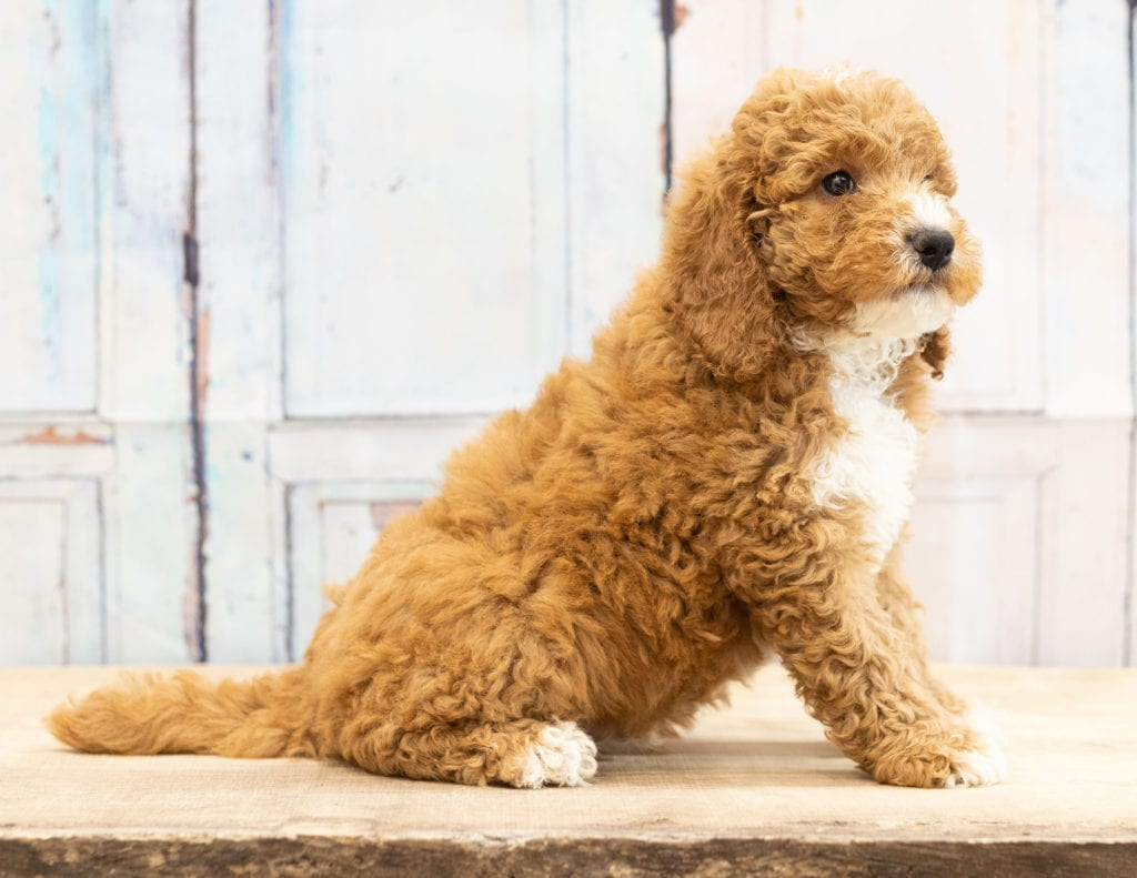 Another great picture of Vex, a Goldendoodles puppy