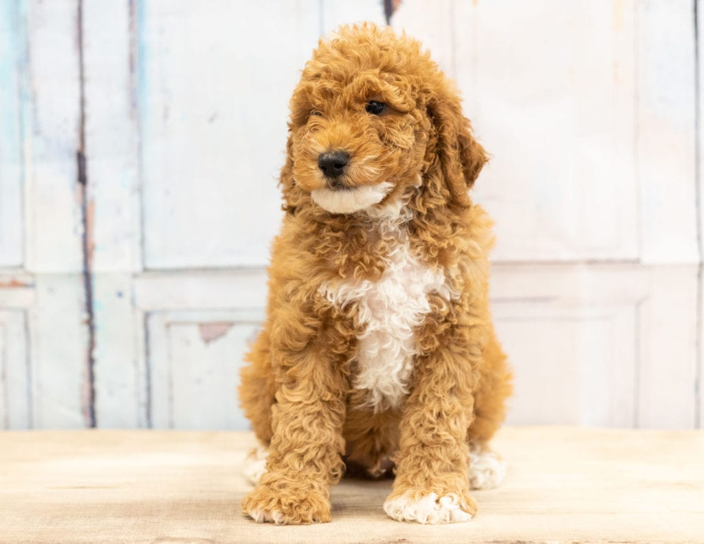 Vinny came from Candice and Teddy's litter of F1BB Goldendoodles