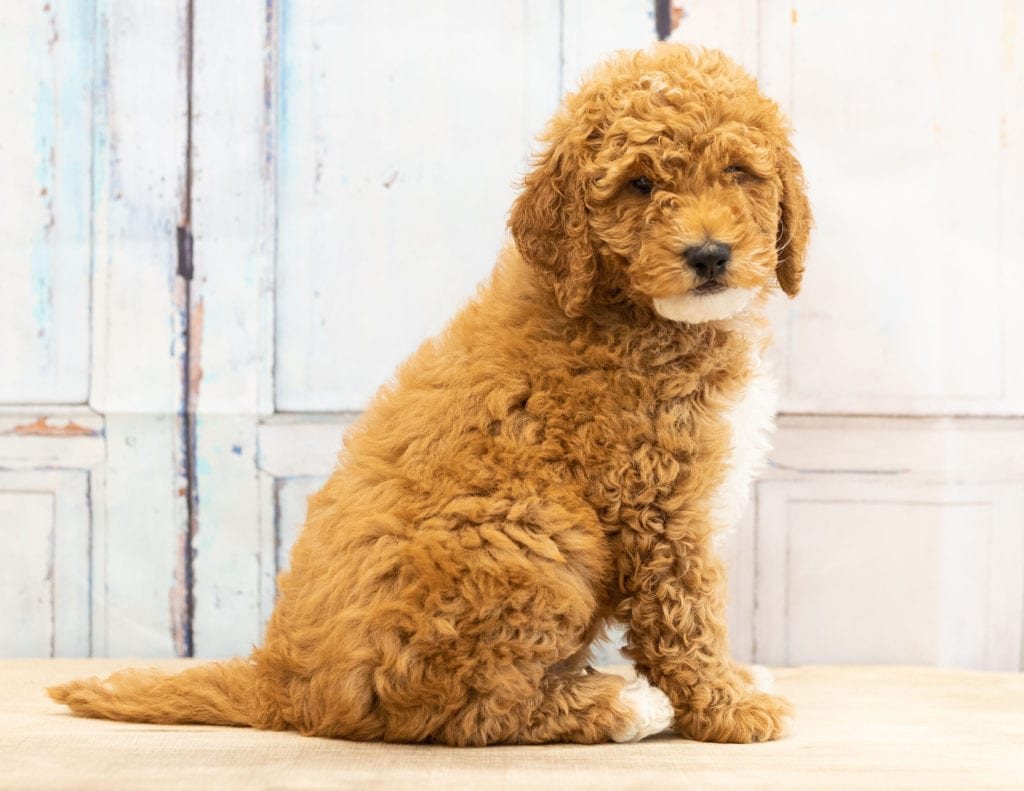 A picture of a Vinny, one of our Mini Goldendoodles puppies