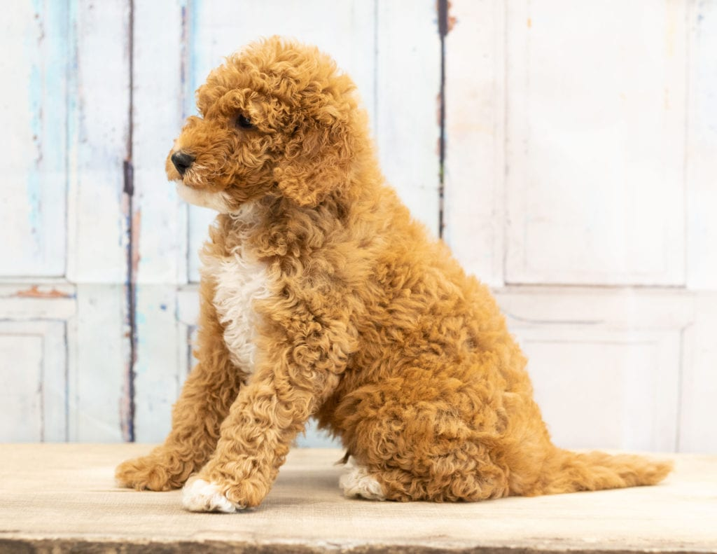 "Vinny is an F1BB Goldendoodle that will be hypoallergenic. Read more about what a dog being hypoallergenic means on our latest blog post, ""The New Breed Everyone Seems to Want"""