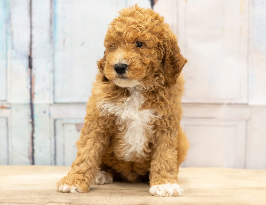 Another great picture of Volt, a Goldendoodles puppy