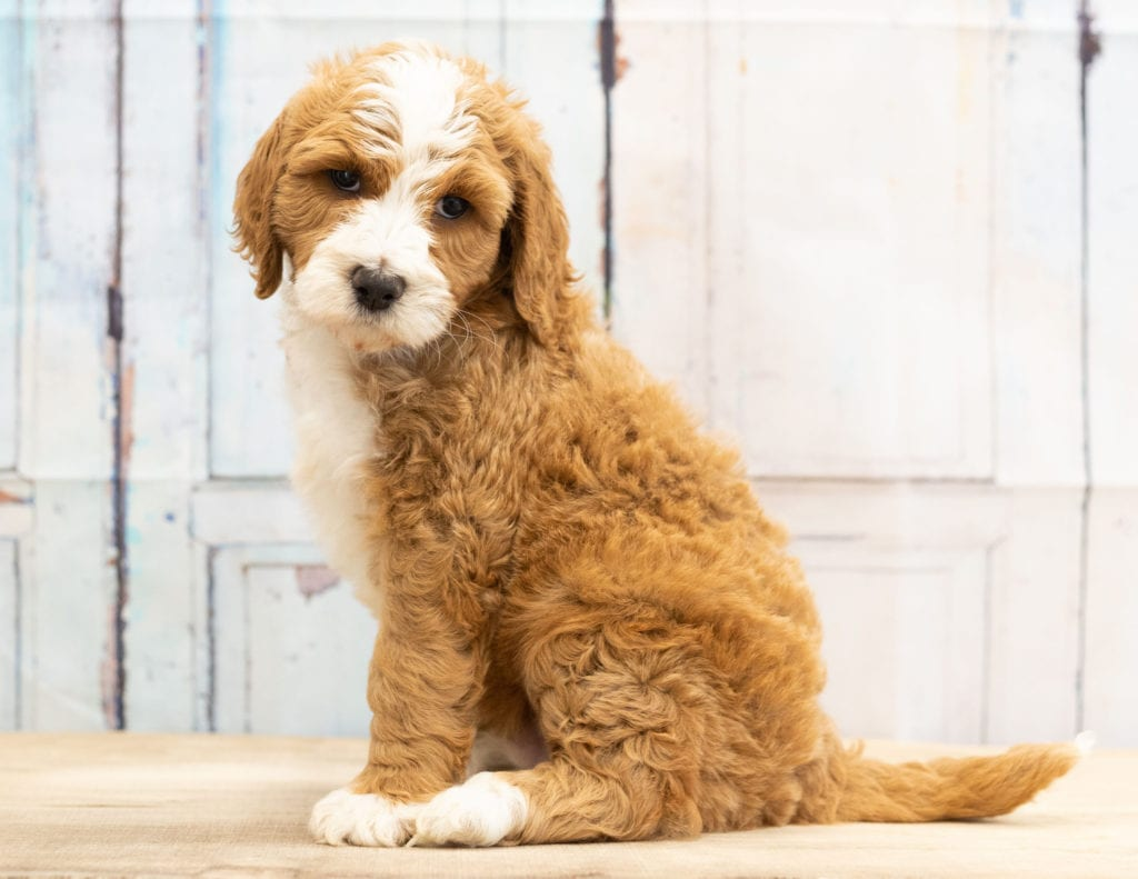 Wag came from Dallas and Scout's litter of F1B Goldendoodles