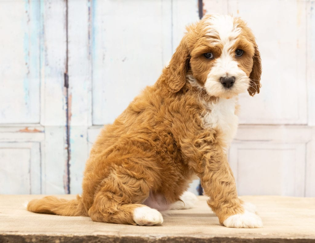 Another great picture of Wag, a Goldendoodles puppy