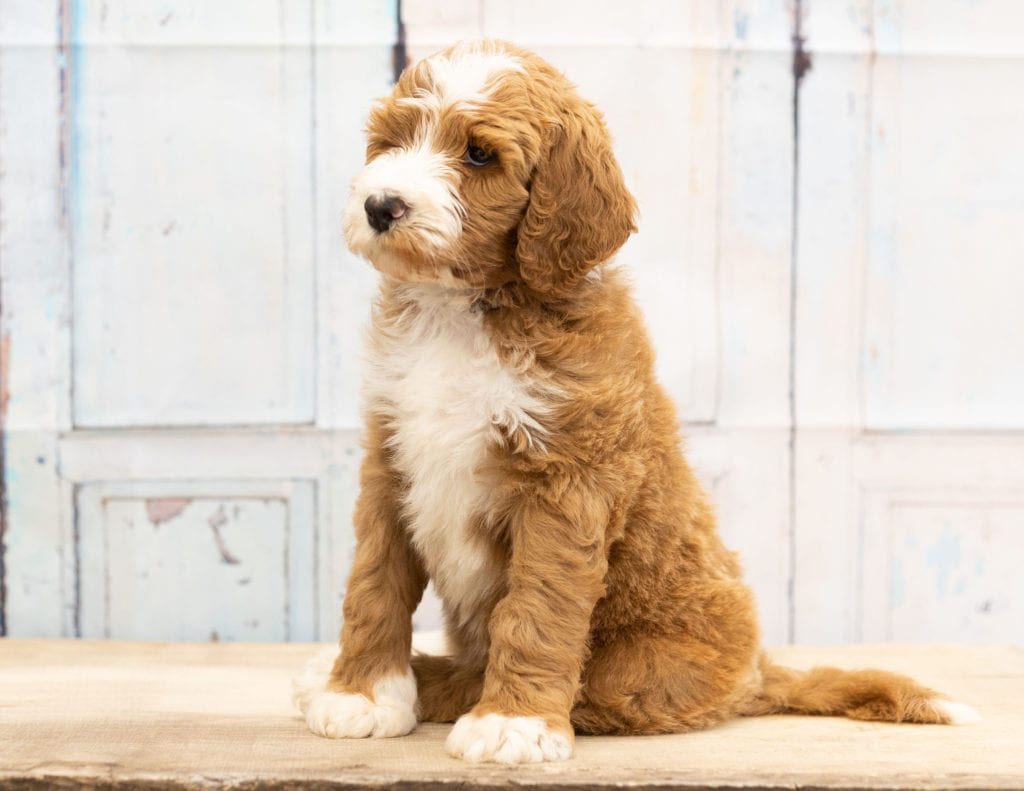 A picture of a Wako, one of our Mini Goldendoodles puppies that went to their home in Minnesota