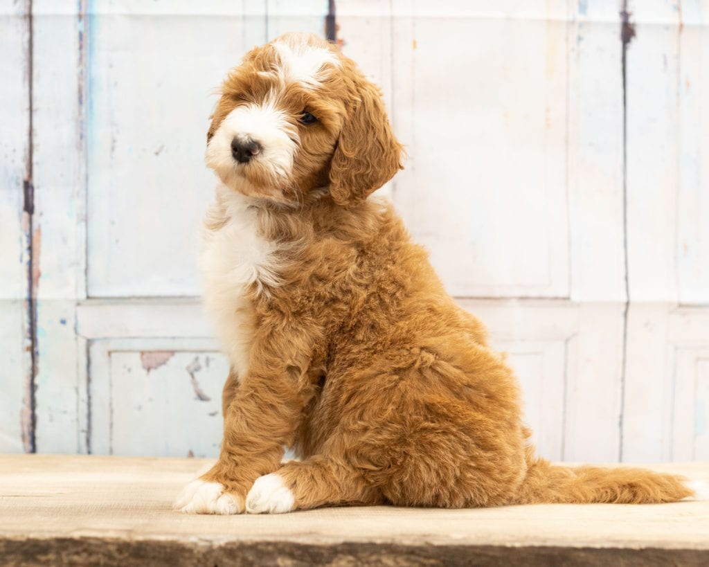 Wako came from Dallas and Scout's litter of F1B Goldendoodles
