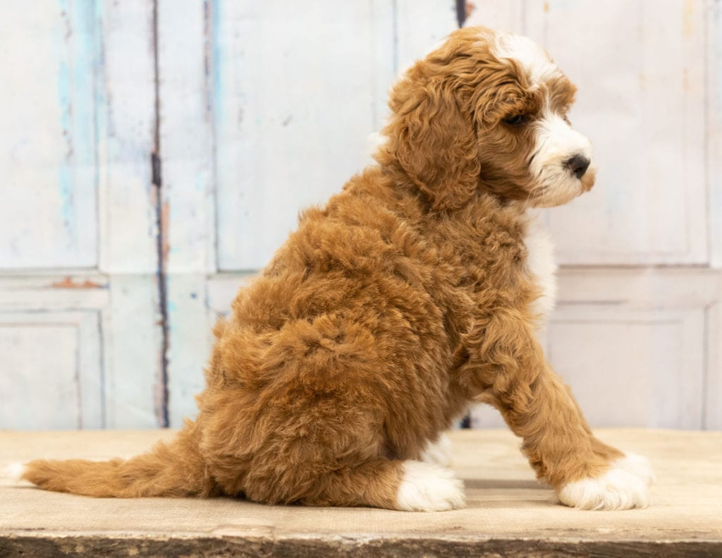 Another great picture of Wako, a Goldendoodles puppy