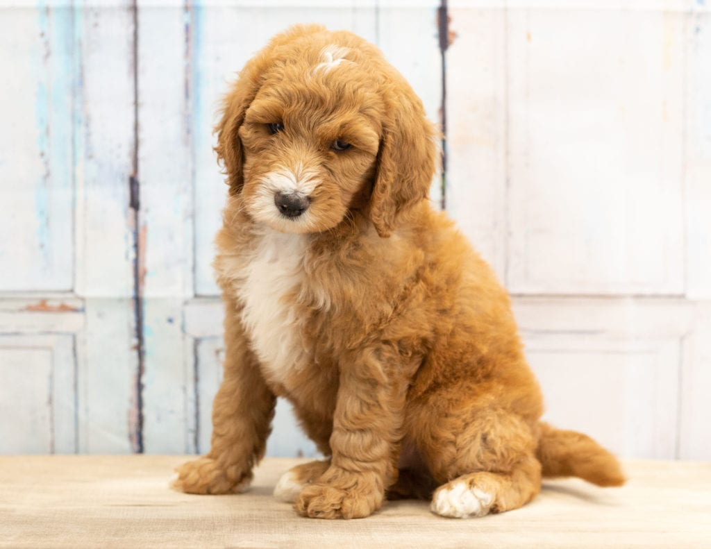 A picture of a Walt, one of our Mini Goldendoodles for sale