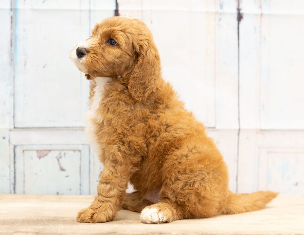 Walt came from Dallas and Scout's litter of F1B Goldendoodles