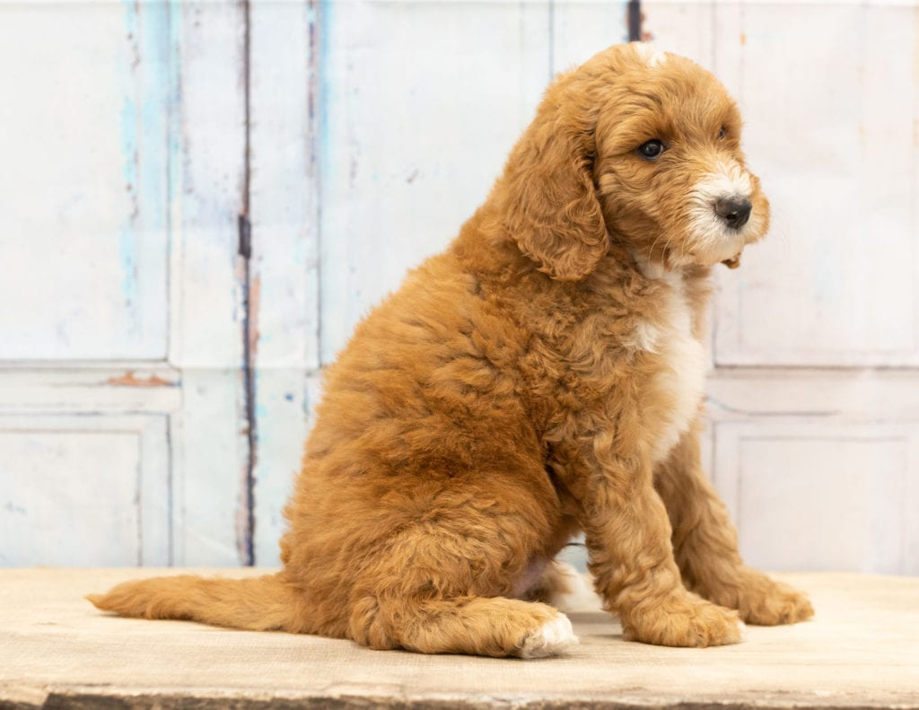 Another great picture of Walt, a Goldendoodles puppy