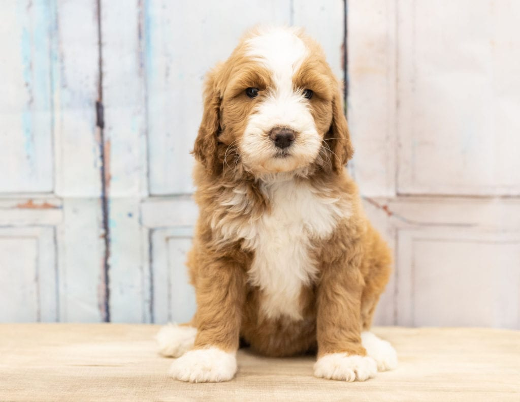 A picture of a Wara, one of our Mini Goldendoodles puppies that went to their home in Iowa