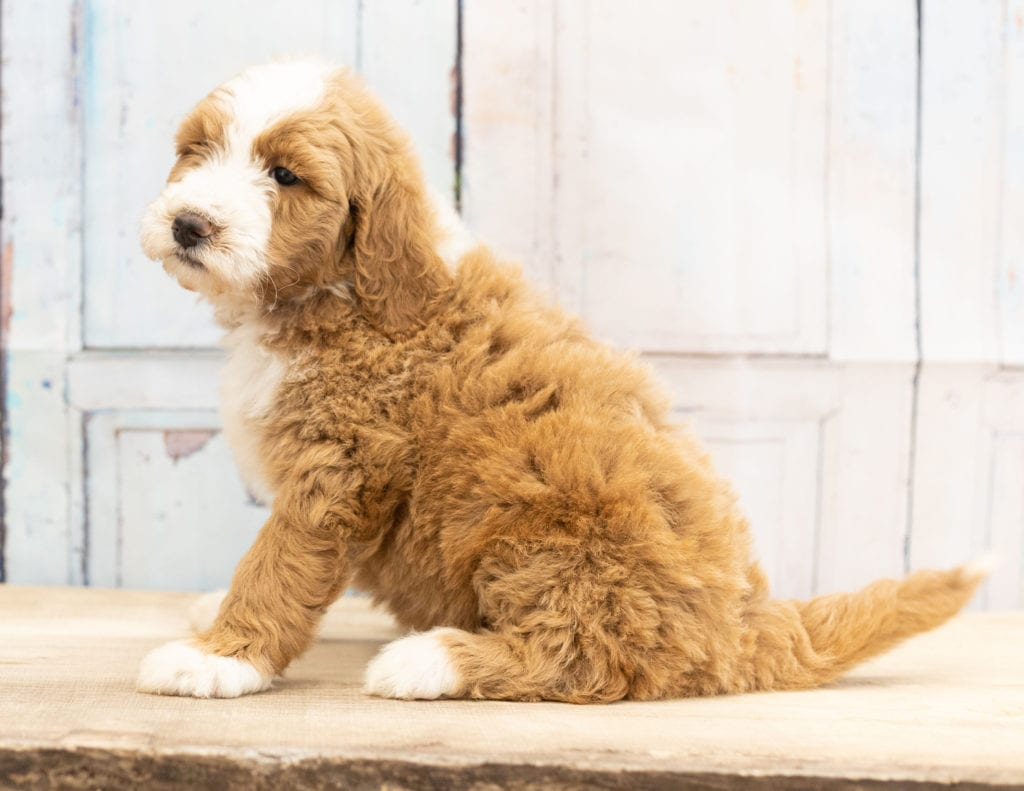 Wara is an F1B Goldendoodle that should have  and is currently living in Iowa