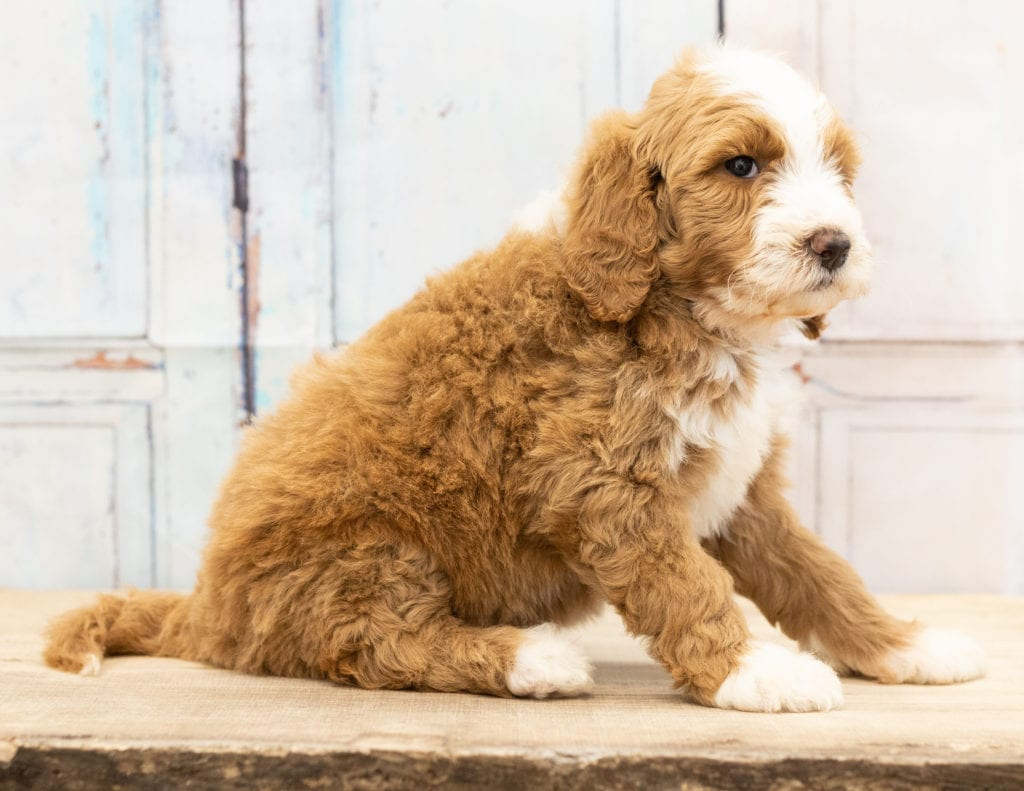 Wara came from Dallas and Scout's litter of F1B Goldendoodles