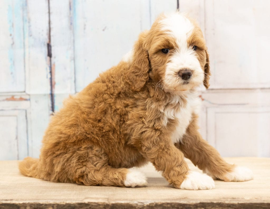 Another great picture of Wara, a Goldendoodles puppy