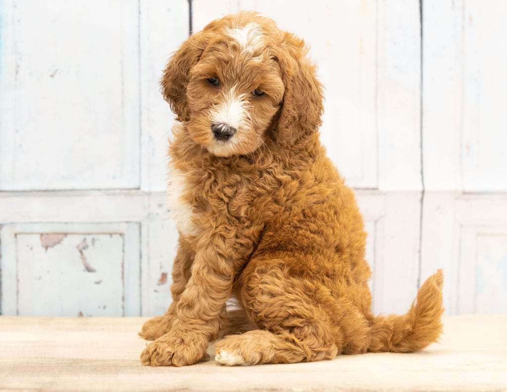 Wita came from Dallas and Scout's litter of F1B Goldendoodles