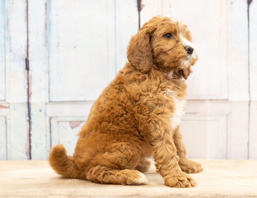 Another great picture of Wita, a Goldendoodles puppy