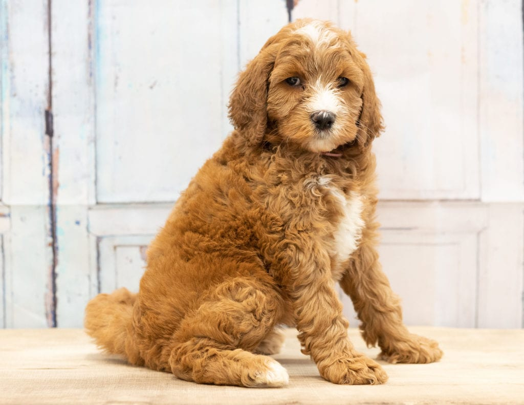 A picture of a Wita, one of our Mini Goldendoodles puppies that went to their home in Nebraska