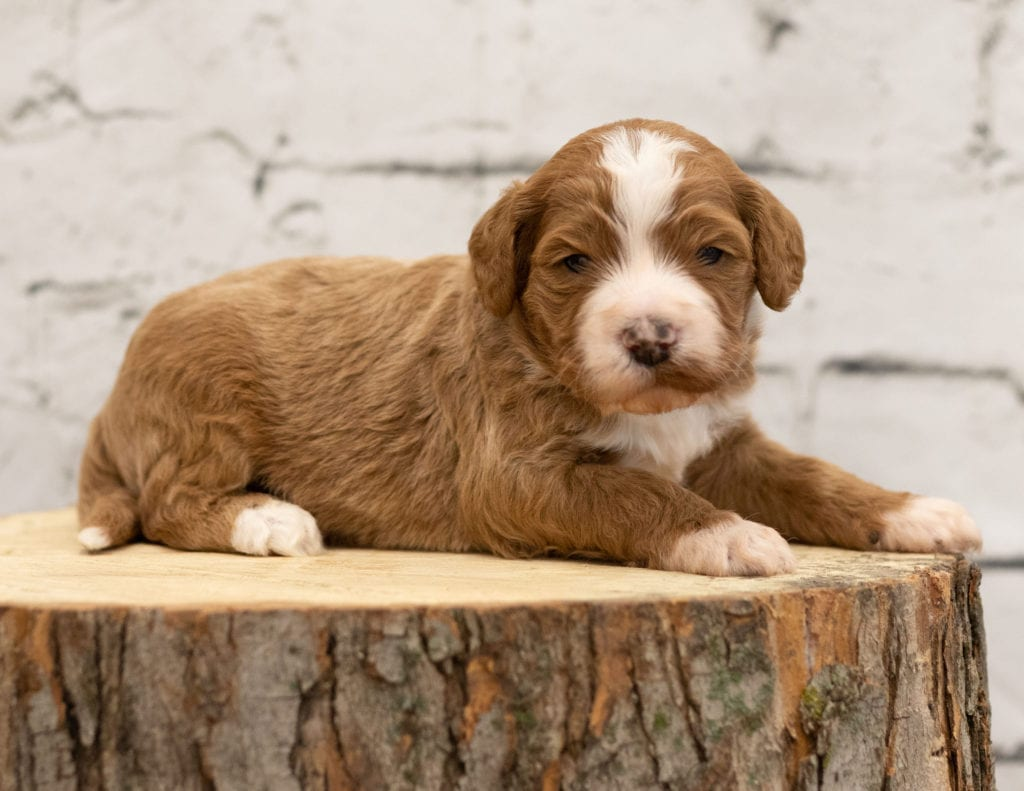 Abstract f1b Goldendoodle Puppies for sale - Goldendoodle ...