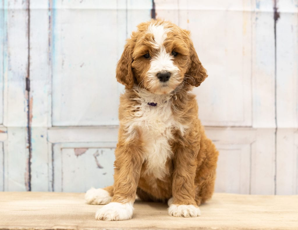 Wona is an F1B Goldendoodle that should have  and is currently living in Nebraska