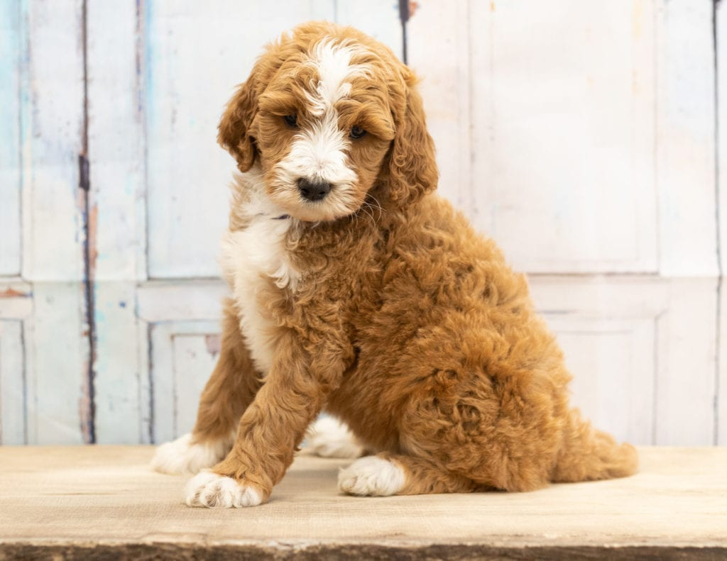 Wona came from Dallas and Scout's litter of F1B Goldendoodles