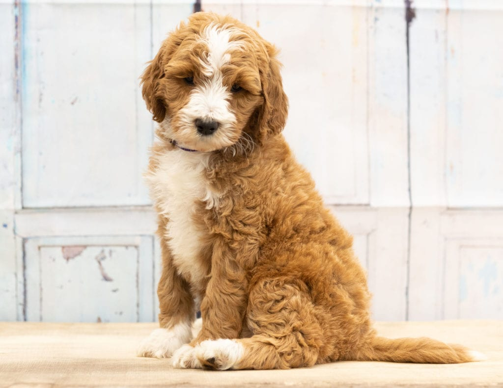 Abstract F1b Goldendoodle Puppies For Sale Goldendoodle