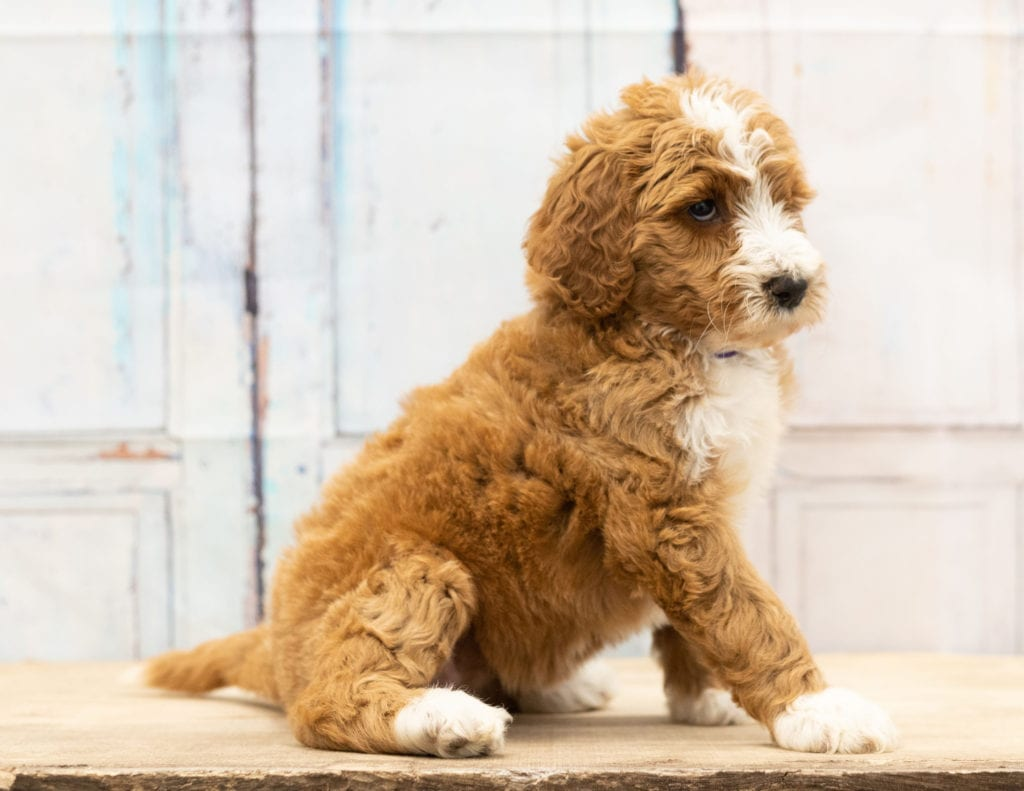 Another great picture of Wona, a Goldendoodles puppy