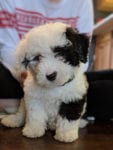 The cutest Sheepadoodle puppy ever!! Seriously.