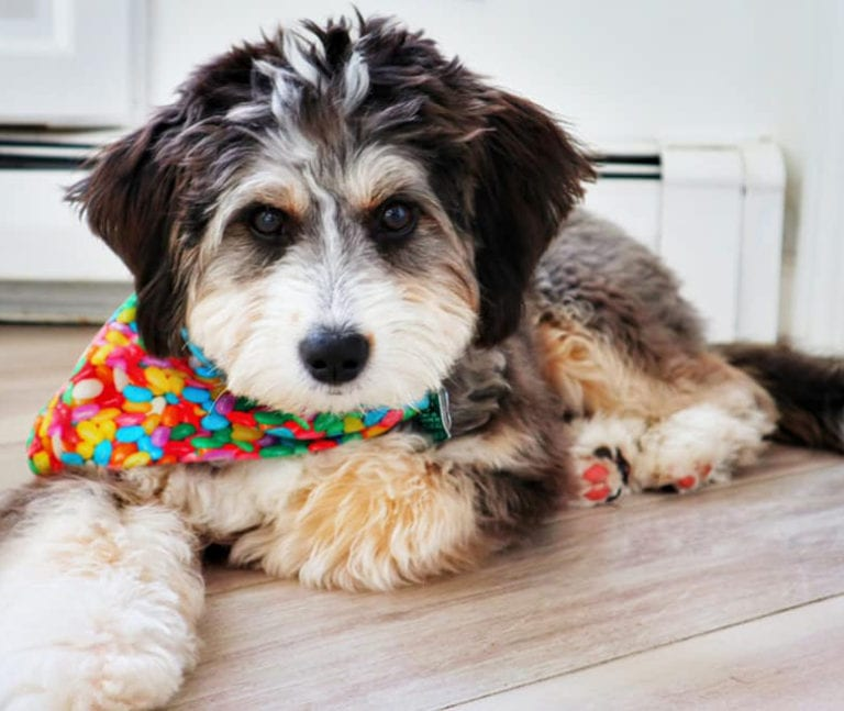 The most handsome Bernedoodle ever! Recently groomed with a colorful bandanna