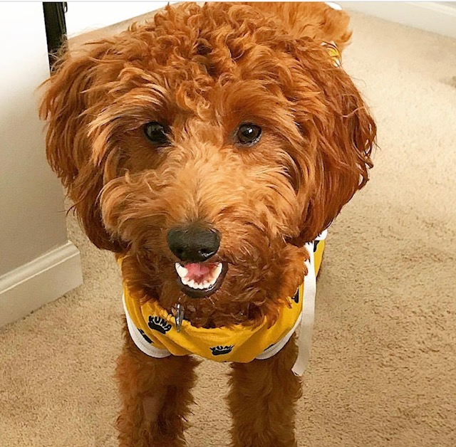 A happy red Goldendoodle in a cute shirt