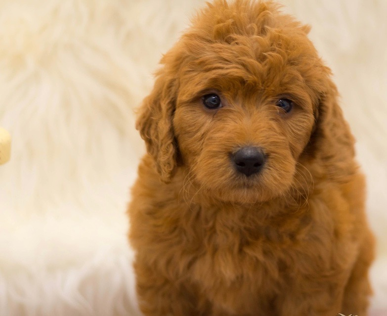 A picture of a Sage, one of our Mini Goldendoodles for sale