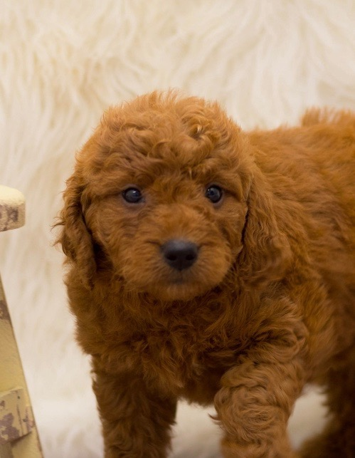 A picture of a Sala, one of our Mini Goldendoodles for sale