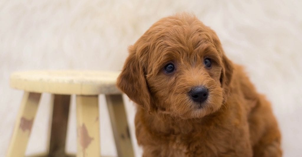 A picture of a Sally, one of our Mini Goldendoodles for sale