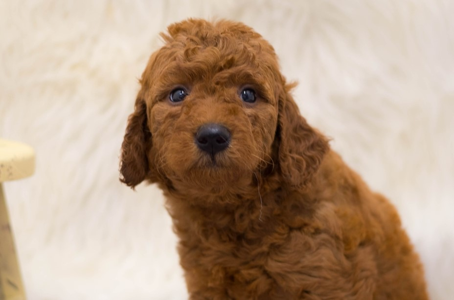 A picture of a Sam, one of our Mini Goldendoodles for sale