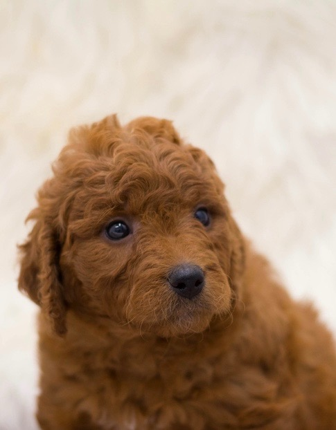 A picture of a Sami, one of our Mini Goldendoodles for sale