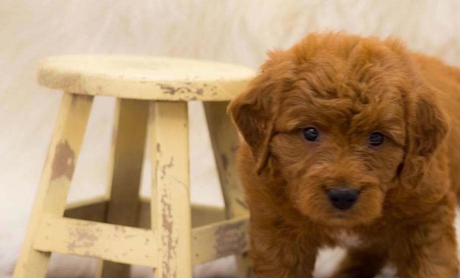 A picture of a Skip, one of our Mini Goldendoodles for sale