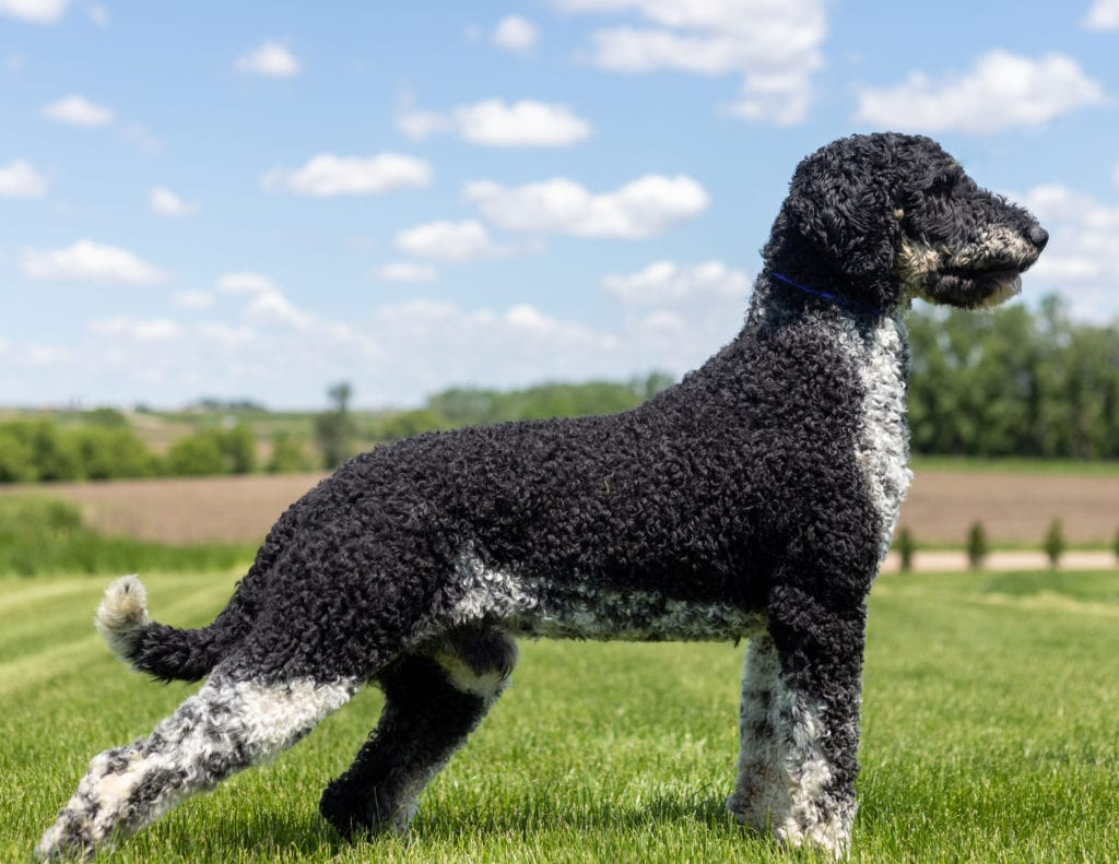 Floki is an  Poodle and a father here at Poodles 2 Doodles, Sheepadoodle and Bernedoodle breeder from Iowa