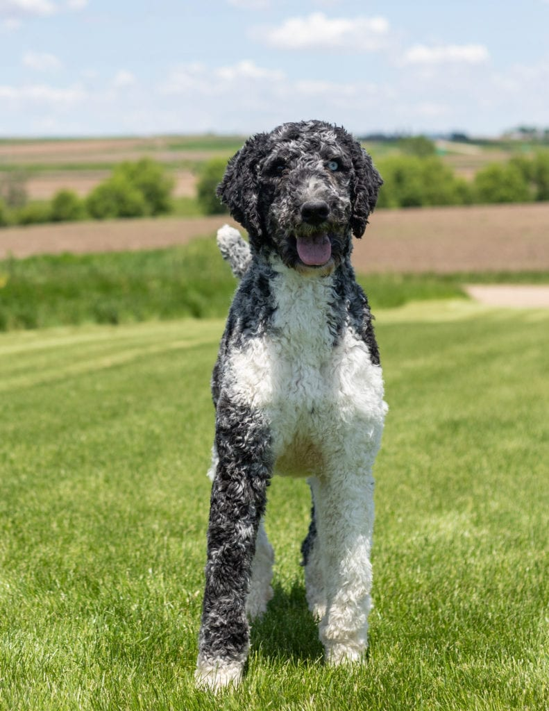 Merlin is an  Poodle and a father here at Poodles 2 Doodles, Sheepadoodle and Bernedoodle breeder from Iowa