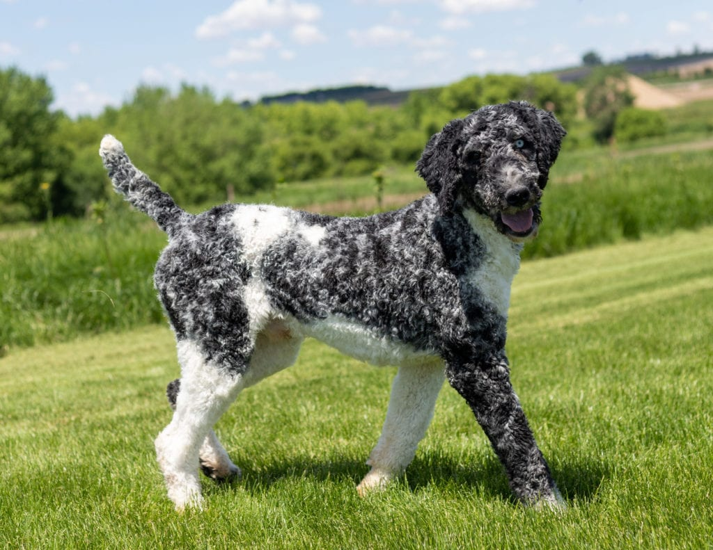 Irish Doodles bred in in Iowa by Poodles 2 Doodles