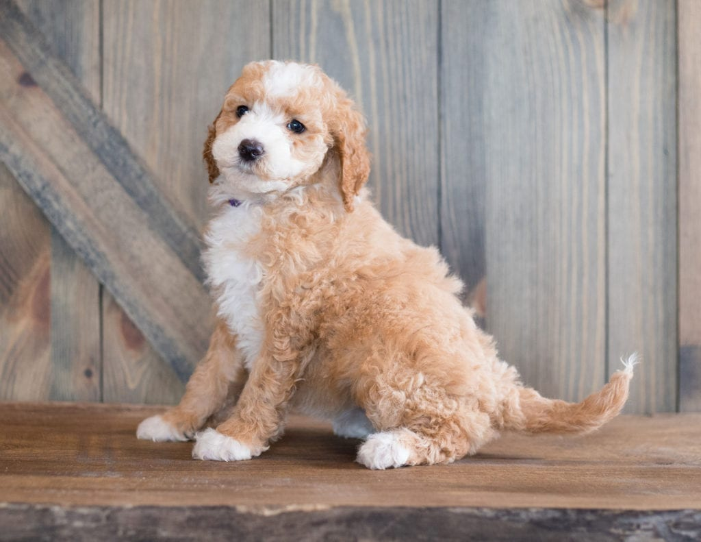 A picture of a Bali, one of our Mini Goldendoodles puppies that went to their home in Illinois