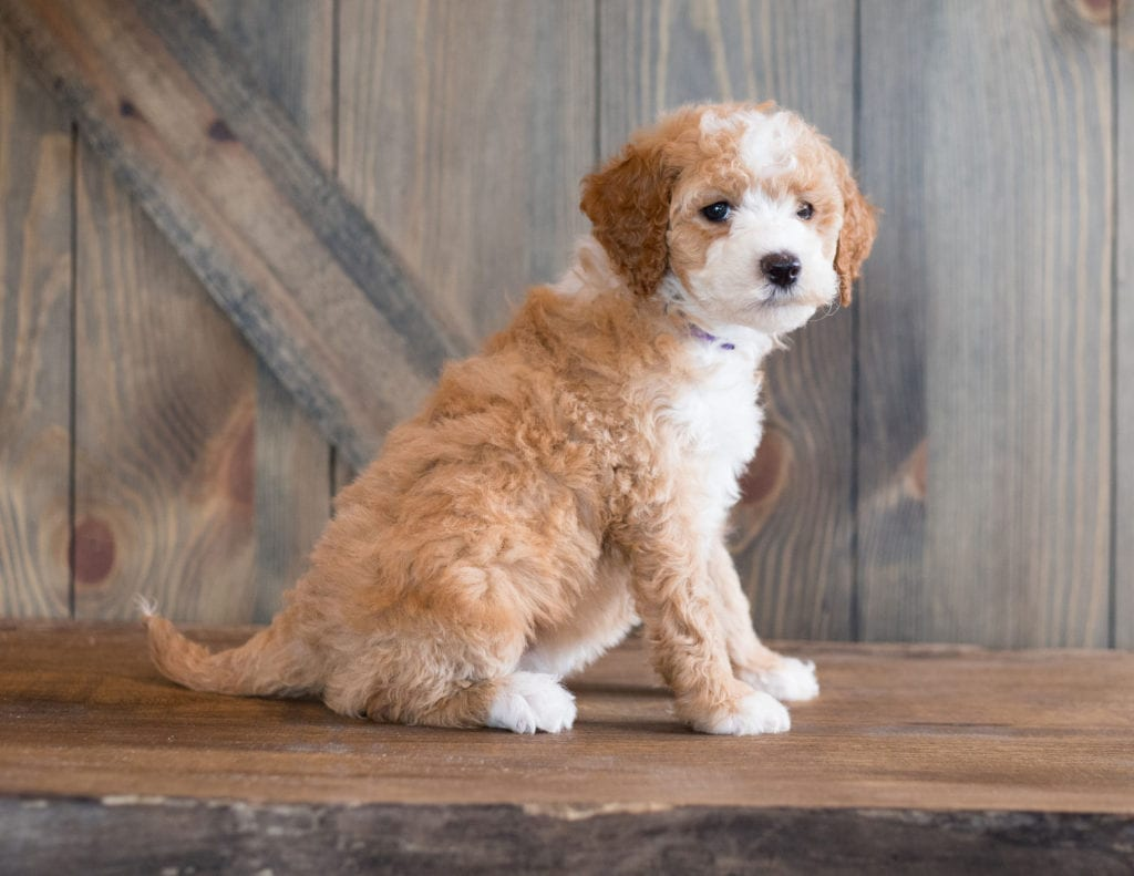 Bali came from Kimber and Scout's litter of F1B Goldendoodles