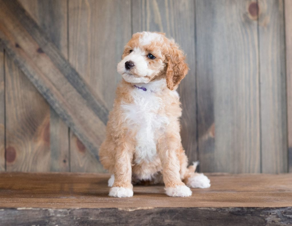 Another great picture of Bali, a Goldendoodles puppy