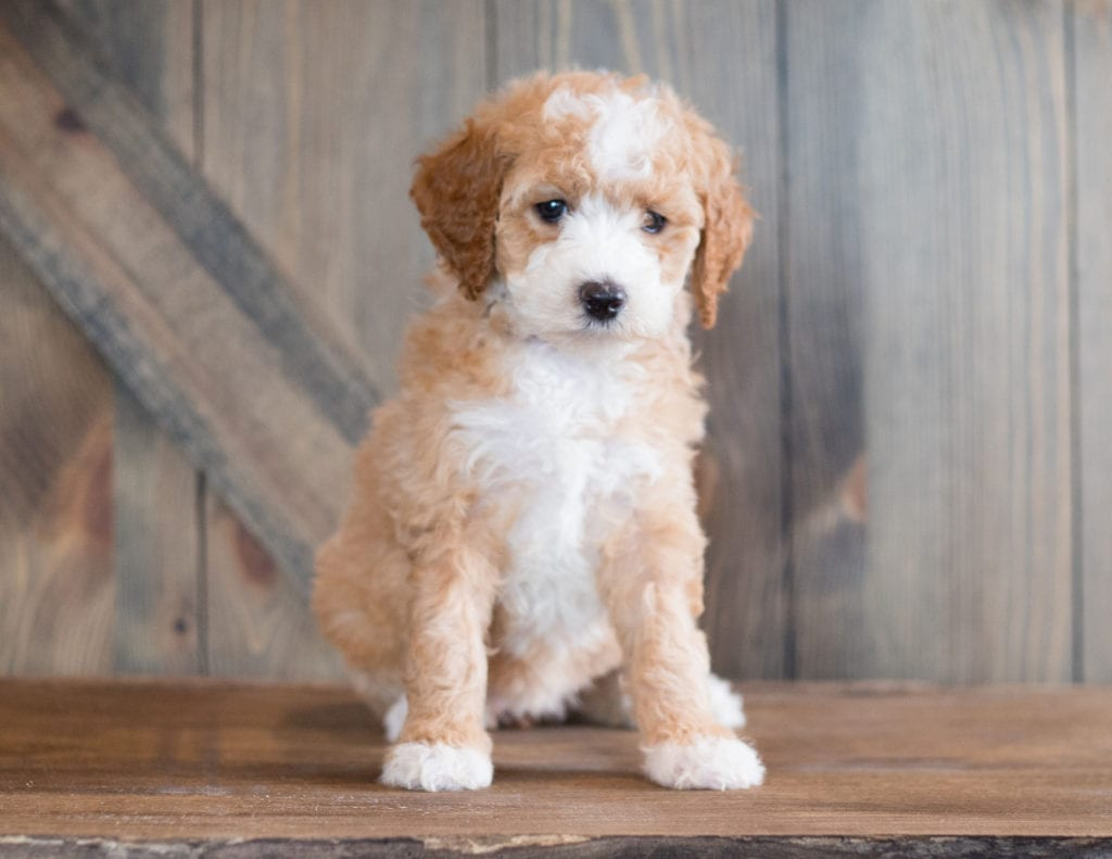 Bali is an F1B Goldendoodle that should have  and is currently living in Illinois
