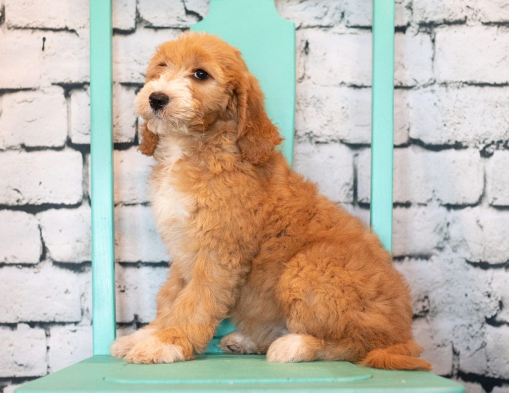 A picture of a Banji, one of our Mini Goldendoodles puppies that went to their home in Illinois