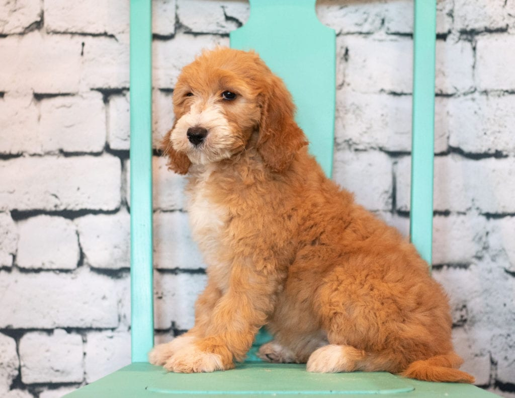 Banji is an F1B Goldendoodle that should have  and is currently living in Illinois