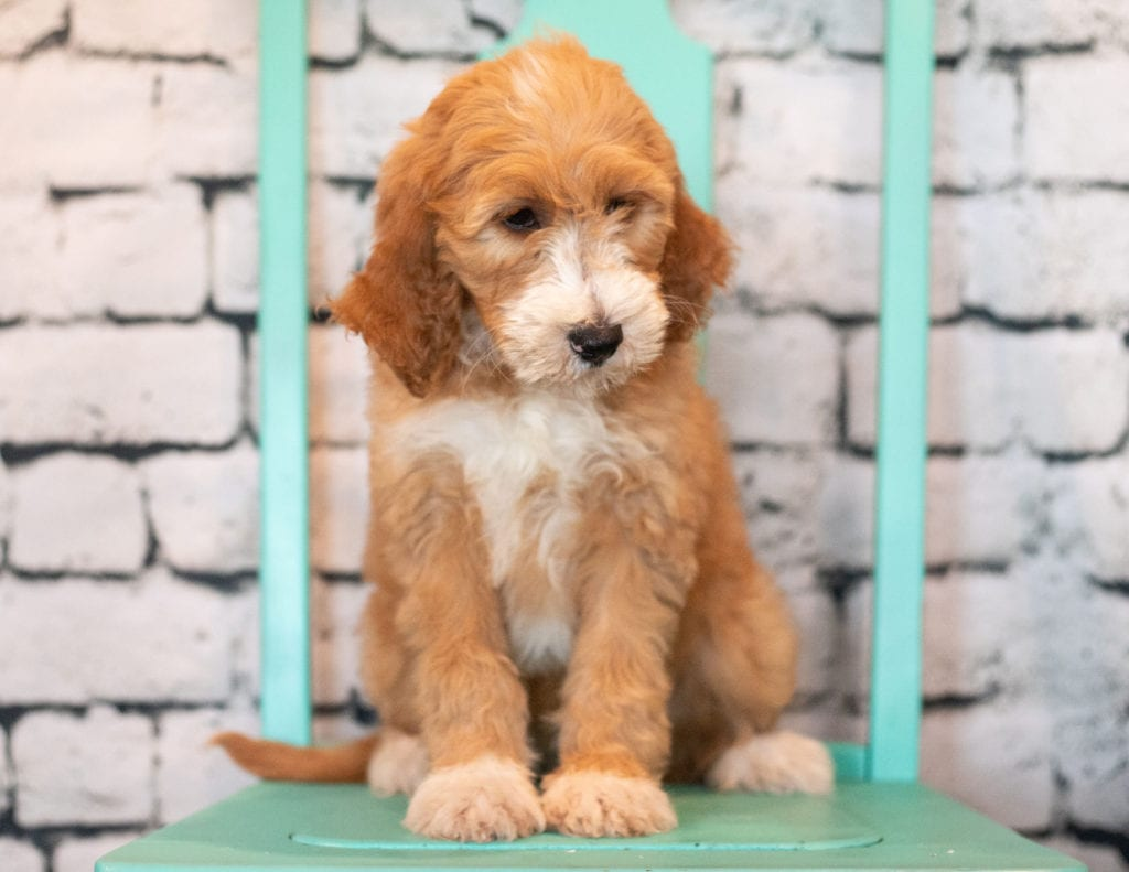 Banji came from Kimber and Scout's litter of F1B Goldendoodles