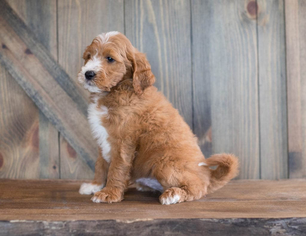 Another great picture of Barlo, a Goldendoodles puppy