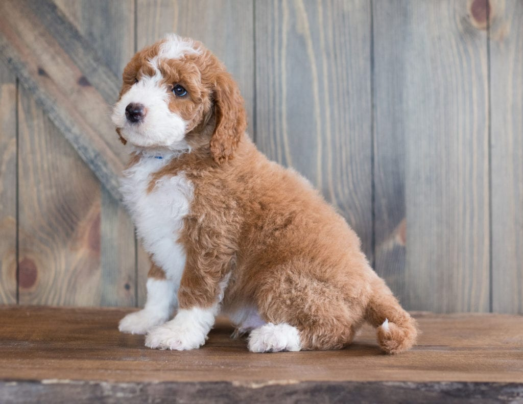 Baruk came from Kimber and Scout's litter of F1B Goldendoodles