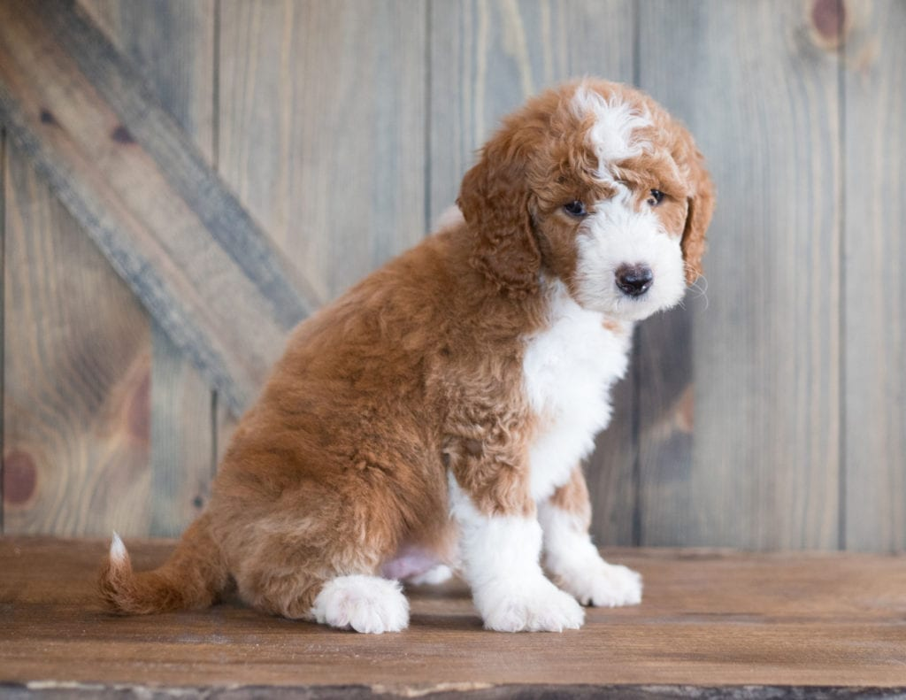 Another great picture of Baruk, a Goldendoodles puppy